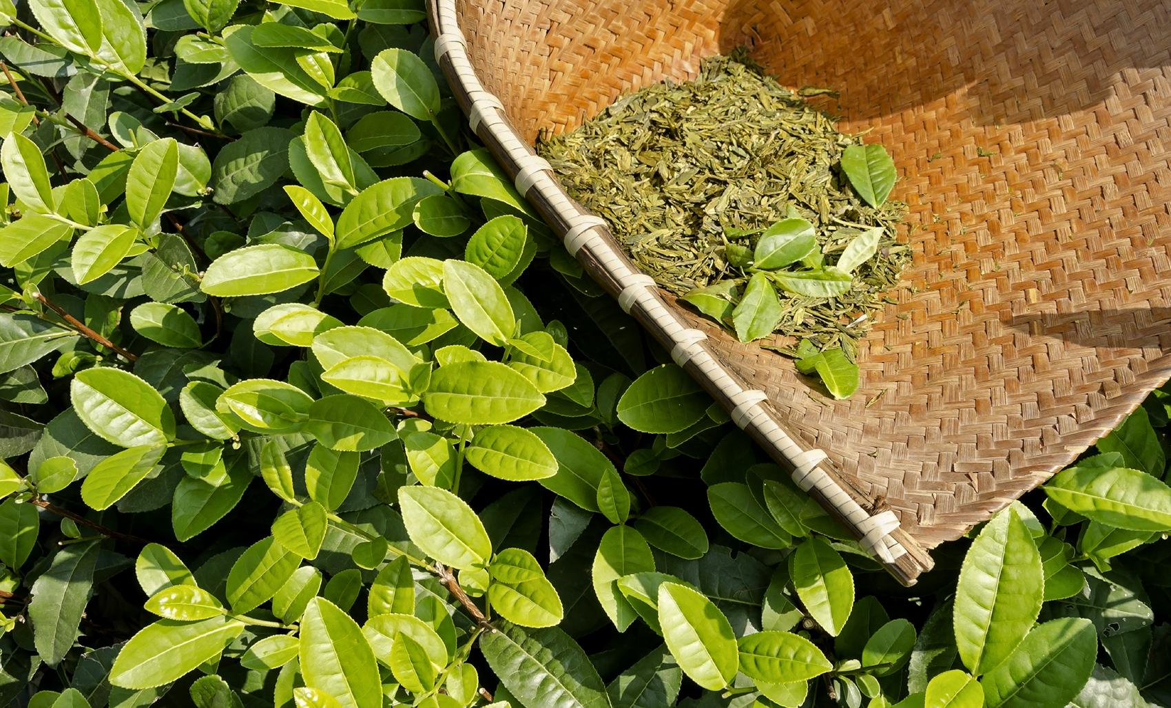 kávé vagy zöld tea a fogyáshoz